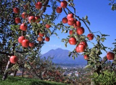 りんご園から望む雄大な岩木山