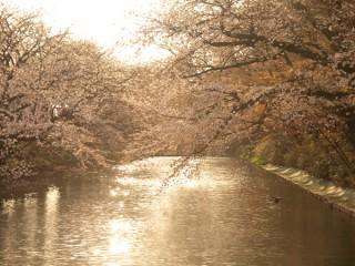 弘前公園(弘前城)さくらまつり 外堀の桜